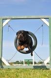 скача rottweiler стоковые фото