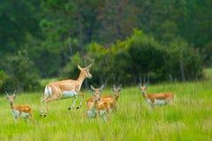 Скачка антилопы средняя Стоковая Фотография RF