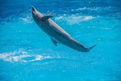 Скачки в воздухе, выставка дельфина Стоковые Фото