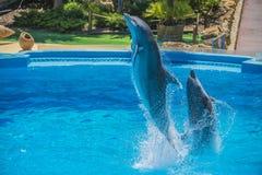 Скачки в воздухе, выставка дельфина Стоковые Изображения RF