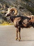 Скалистая гора Bighorn, одичалая овца Стоковые Изображения RF