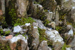Скалистый мох Стоковая Фотография RF