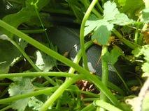 Сквош в огороде стоковые фотографии rf
