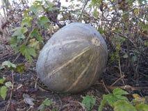 сквош, который выросли в саде Стоковая Фотография