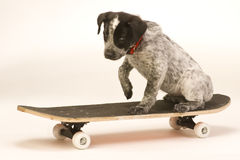 скейтборд собаки Стоковые Изображения