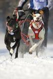 скелетон гонки собаки Стоковое фото RF