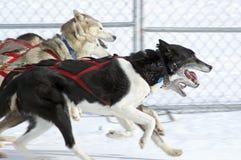 скелетон гонки собак Стоковые Фотографии RF