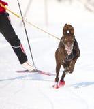 скелетон Швейцария гонки lenk 2012 собак Стоковые Изображения RF