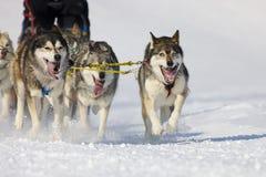 скелетон Швейцария гонки lenk 2012 собак Стоковое Изображение RF