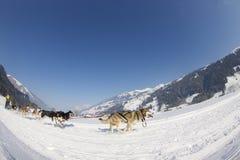 скелетон Швейцария гонки lenk 2012 собак Стоковые Изображения