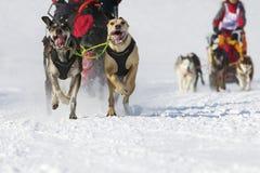 скелетон Швейцария гонки lenk 2012 собак Стоковое Фото