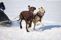скелетон Швейцария гонки lenk 2012 собак Стоковое Изображение