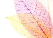 Скелеты листьев Стоковое фото RF