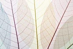 скелет листьев Стоковое Фото