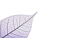 скелет листьев Стоковые Изображения RF