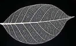 скелет листьев Стоковое фото RF