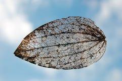 скелет листьев стоковые изображения