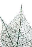 скелет листьев стоковое изображение rf