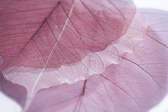 скелет листьев Стоковые Фото