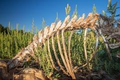 Скелет оленя покойниц светит ярко в солнечном свете Стоковые Изображения RF