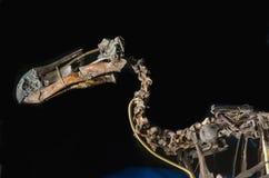 Скелет птицы додо стоковое изображение rf
