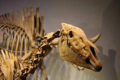 Скелет реконструированного ископаемого динозавра полного Стоковые Изображения