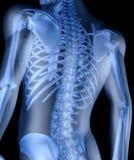 скелет человека Стоковое фото RF