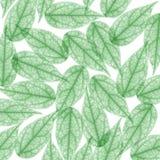 скелет x луча листьев предпосылки зеленый Стоковая Фотография RF
