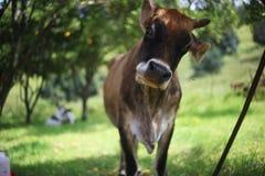 Скептичная корова стоковая фотография rf
