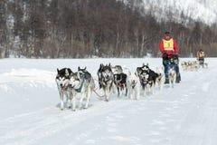 Скелетон участвуя в гонке Beringia собаки Камчатки весьма Россия, Дальний восток Стоковая Фотография RF