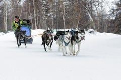 Скелетон участвуя в гонке Beringia собаки Камчатки Русское Дальний Восток Стоковое Изображение