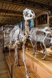 Скелеты животных в галерее палеонтологии и сравнительной анатомии в Париже Стоковые Изображения