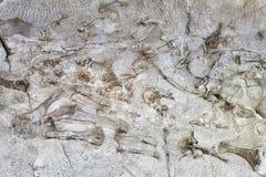 Скелеты динозавра в национальном монументе динозавра, Юте, США Стоковая Фотография