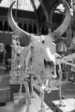 Скелет быка на музее Оксфордского университета естественной истории Стоковое Фото
