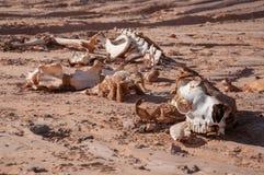 Скелет верблюда Стоковое Изображение