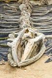Скелет кита, который подвергли действию на музей морской флоры и фауны Стоковые Изображения RF