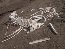 Скелет кита Стоковая Фотография
