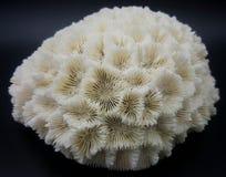 Скелет коралла мозга Стоковые Фотографии RF