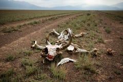 Скелет коровы в пустыне Стоковые Изображения RF