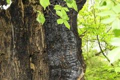 Скелет, который сгорели деревянного дерева на фоне зеленых листьев Стоковое Изображение RF