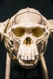 Скелет обезьяны Стоковая Фотография