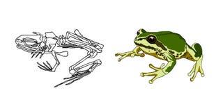 Скелет лодкамиамфибий жаба Лягушка анархиста вектор Стоковые Фото