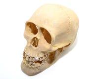 Скелет Стоковые Фотографии RF