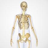 скелет Стоковые Фото