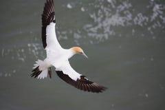 скользить gannet Стоковые Фото