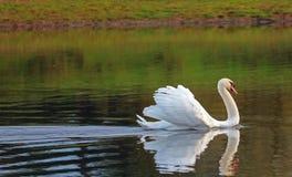 Скользя лебедь с поднятыми пер показ стоковое изображение