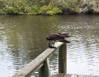 Скопа есть рыб кефали в Флориде Стоковые Фотографии RF