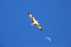 Скопа летая высоко с луной на заднем плане Стоковая Фотография
