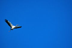 Скопа летая solo Стоковые Фотографии RF