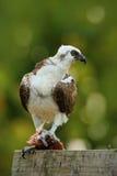 Скопа хищной птицы, haliaetus Pandion, подавая рыба задвижки, Белиз Стоковое Изображение RF